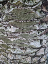 Palm Tree Trunk In Detail View, Texture