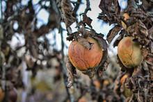 Ill Shriveled Apple On Branch ...