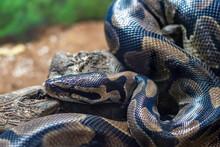 Royal Python Resting On A Log ...