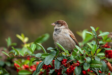 Sparrow Sitting On A Branch Of A Shrub With Green Leaves, Autumn Time