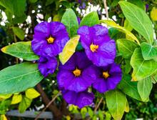Blue Morning Glory Flower On G...