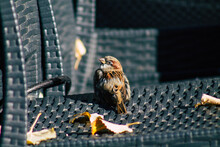 Closeup Of A Sparrow On The Ch...