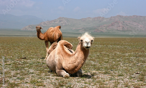 Steppe on a summers day with mountains and group of camels Fotobehang