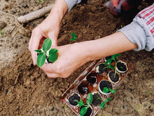 Planting Cucumbers From Eggshells Into Open Soil. Sustainable Gardening Concept