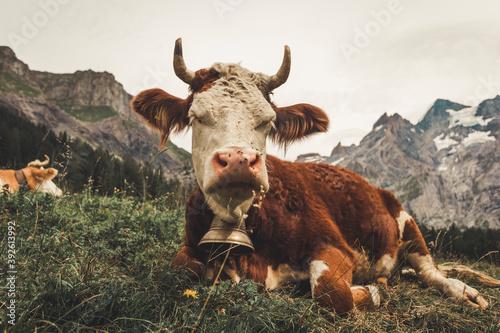 vaca vaca Canvas