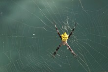 Photo Of A Yellow Spider, Orde...
