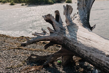 Large Log With Roots On A River Beach