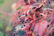 Close Up Of Bush With Red Leaves And Blue Berries In The Rain, Autumn Time