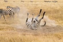 Zebra That Is Rolling On The G...