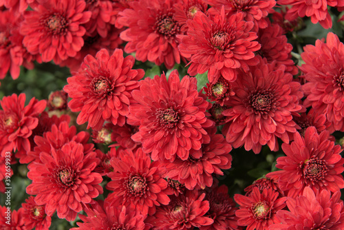 Flower, red chrysanthemums fall color Canvas