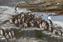 Rockhopper Penguin Chicks (Eud...