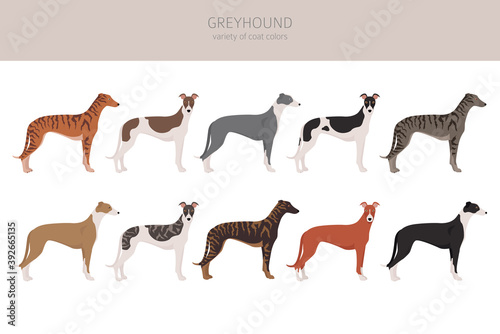 Tablou Canvas English greyhound dogs different coat colors