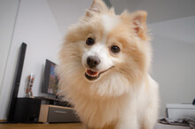 Fluffy Pomeranian Dog On Woode...