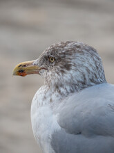 Close Up Of A Young Seagull