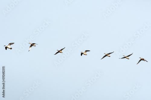Anatre in volo all'interno di un'Oasi naturale protetta in Italia Fototapet