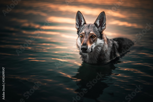 Papel de parede Wolfdog in the water at the golden hour, sunset, lake, river