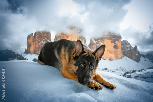 German shepherd dog on the snow at Three Peaks of Lavaredo, Italy, Sudtirol Fotobehang