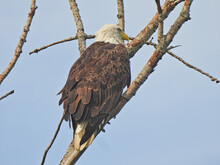 Bald Eagle Perched In Tree: La...