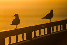 Seagulls On The Pier At Sunrise