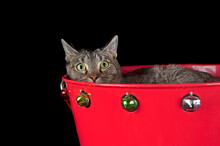 Brown Tabby Cat In Holiday Chr...