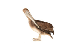 Brown Pelican Isolated On White Standing And Looking Over Shoulder At Camera.