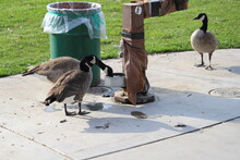 Two Geese Drinking Out Of A Water Fountain
