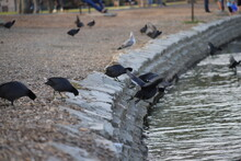 A Group Of American Coots Jumping In The Water