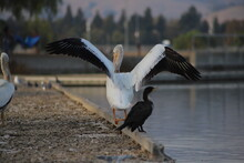 American White Pelicans On A Dirty Dock By A Lake