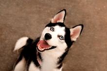 Portrait Of A Dog, Husky Sitti...