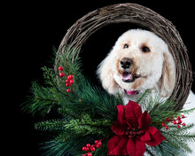 White Standard Poodle Dog Looking Through Holiday Christmas Wreath