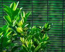 Green Lime Tree Growing With L...