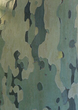 Close Up Photo Of American Plane Tree Bark With Camouflage Pattern