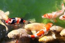 Fancy Carps In Pond, Koishikaw...