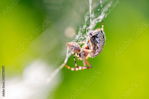 Fotografija Large spider close-up sits on a web and eats an insect caught in a net on a back