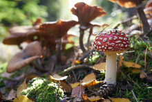 Mushrooms In The Autumn Forest