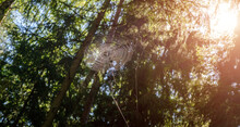 A Spider's Web Hangs On The Br...