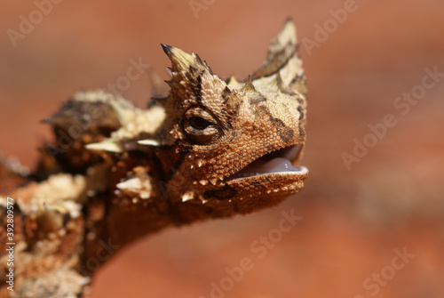 Valokuva Head of reptile Thorny Devil, Moloch horridus, on red sand, Central Australia, c