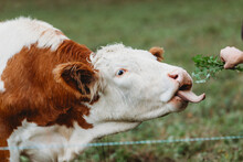 Portrait Of A Cow Being Fed With Tongue Out