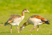 Egyptian Geese Couple Alopoche...