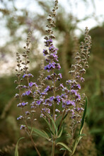 Fresh Wild Grasses Bloom In Purple Flowers In The Fields Of Israel
