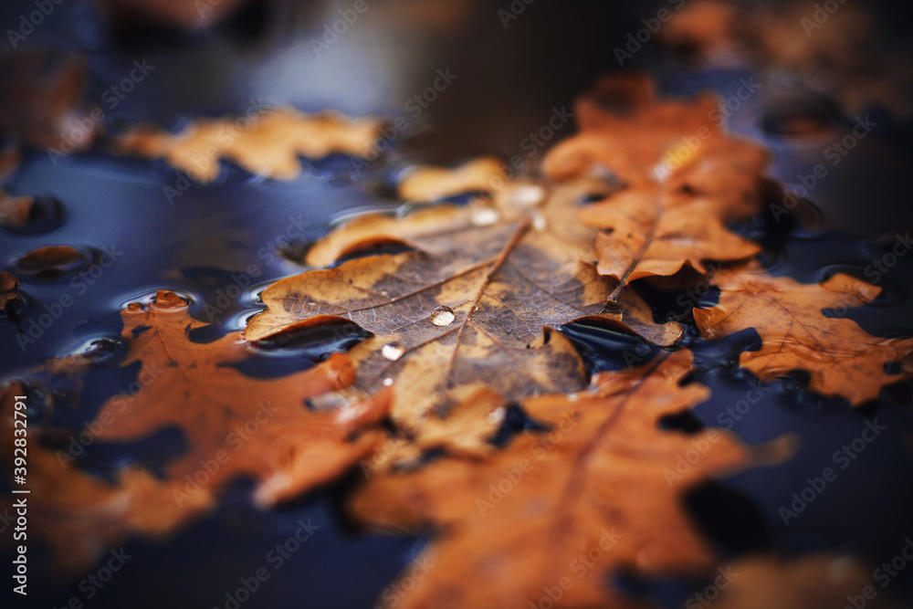 Fototapeta In the dark autumn time, dry leaves that have fallen from trees lie on the water surface of the puddle, and small drops of pure dew on them. November.