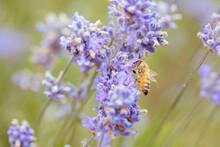 Bee In Lavender In Australia
