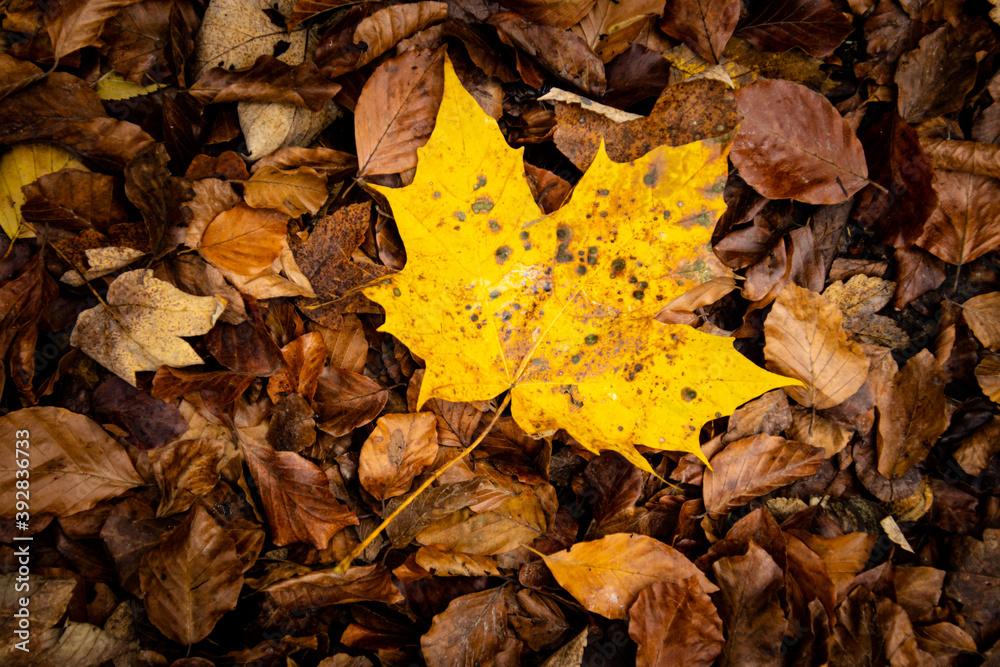 Fototapeta Żółty jesienny liść klonu