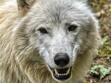 Portrait Of Arctic Wolf
