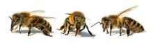 Bees Or Honeybees In Latin Apis Mellifera