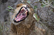 Portrait of a young sub adult male lion yawning and barring his impressive teeth