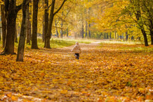 Rear View Of A Small Child Running Through The Park. Child Wearing A Jacket And Hat. The Autumn Park Is Covered With Yellow Falling Leaves. Sunny Day. Happy Childhood.
