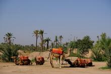 Morocco Marrakesh - Group Of Dromedaries - Camelus Dromedarius - Camel