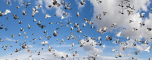 Thousands Of Pigeons Fly In A Beautiful Sky With Clouds