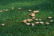 Edible Mushroom Suillus Collin...